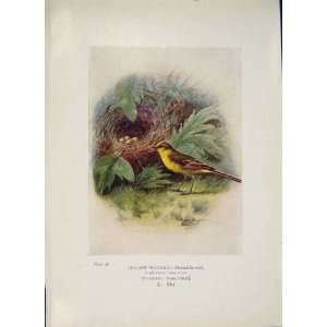 Yellow Wagtail Bird Egg Colour Antique Old Print C1910
