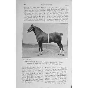 1913 Champion Hackney Stallion Hopwood Viceroy Horse: Home & Kitchen