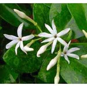 Australian Wax Jasmine Plant: Patio, Lawn & Garden