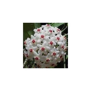 Strawberries & Cream Wax Plant   Hoya   Great House Plant   4 Pot