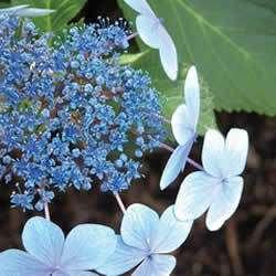 Hydrangea, Blue Bird, Blue flowers, Two 1 gallon plants