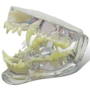 Canine/Dog Clear Jaw Anatomy/Anatomical Model #9196